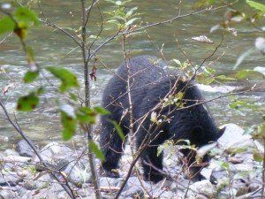 Bear on the Cheakamus river